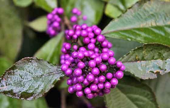 ムラサキシキブは落葉低木