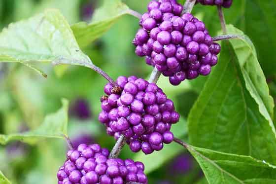 ムラサキシキブは紫色の実を付ける
