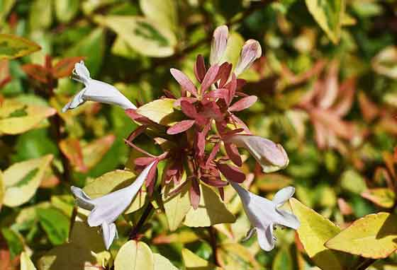 アベリアの開花期は5~10月です