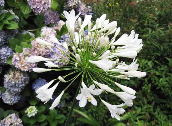 アガパンサスは夏の花