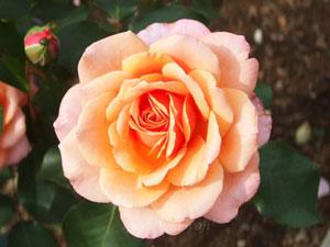 アルブレヒトデューラーローズは四季咲きのバラ