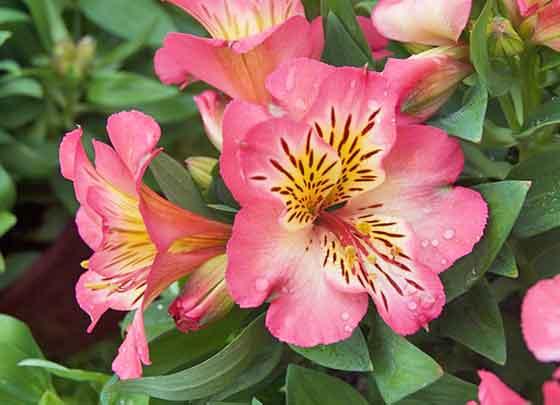 アルストロメリアは花色が豊富です
