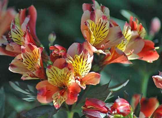 アルストロメリアの開花期は5~7月