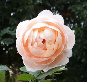 アンブリッジローズは四季咲きです。