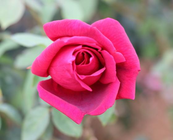 クリムゾーングローリーは芳香種です