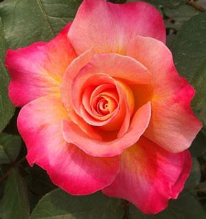 グラナダは中大輪咲き品種