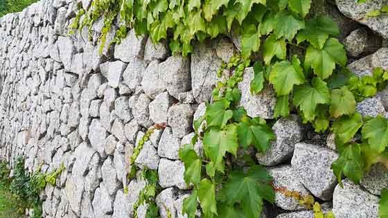 アイビーは壁などに張り付いて伸びる