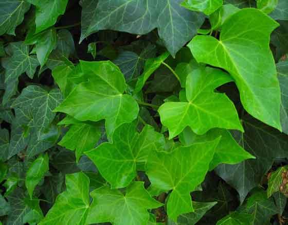 アイビーはつる性植物です
