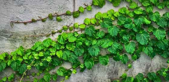 アイビーは観葉植物