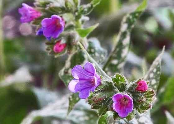 プルモナリアは初春に開花する