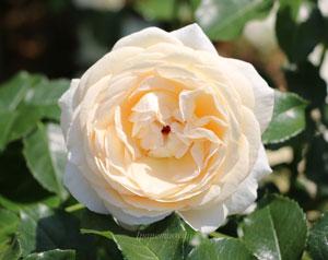 マリーアントワネットはフロリバンダ系のバラ