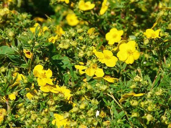 ポテンティラは春から秋まで開花する