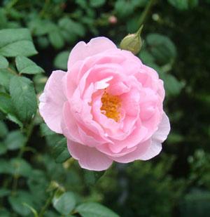 セプタードアイルはカップ咲きです