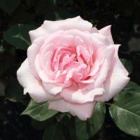 春芳は四季咲き性です
