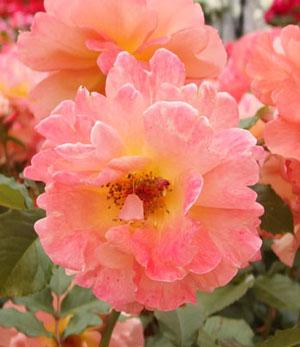 ウエスターランドはシュラブ系統のバラ