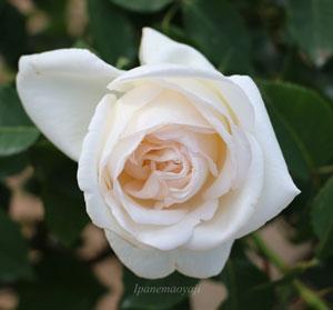 ホワイト クリスマスは大輪咲きです