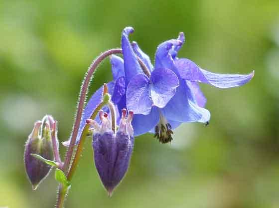 オダマキはキンポウゲ科の花です