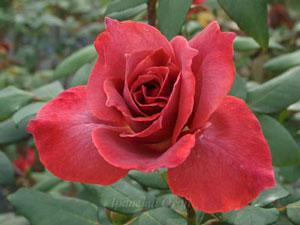 ブラックティーは半剣弁高芯咲きです