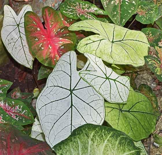カラジュームは鉢栽培が適する