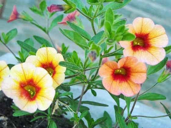 カリブラコアは春~秋まで開花する
