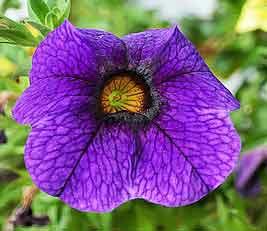 カリブラコアは育てやすい花です