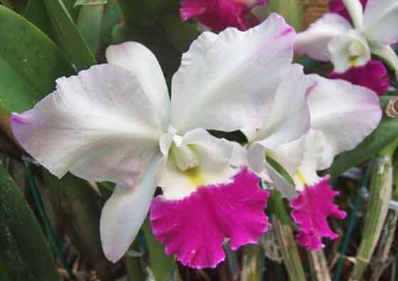 カトレアは巨大輪の花