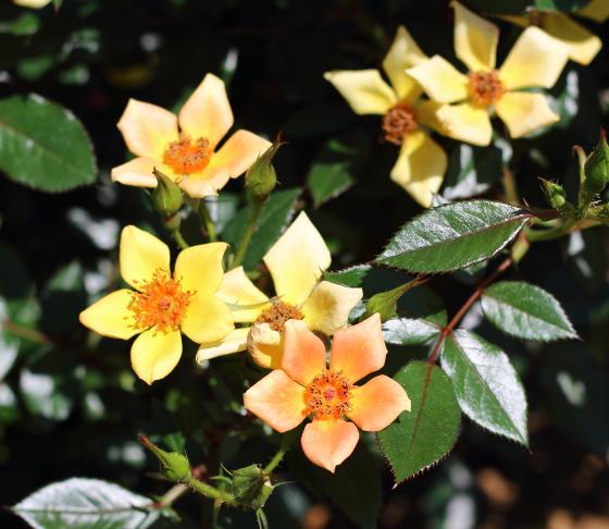 エミリールイーズの花形は矢車形です