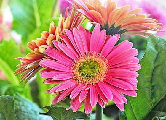ガーベラは切り花としても人気がある