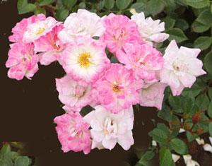 姫は数輪の房咲きで多花性