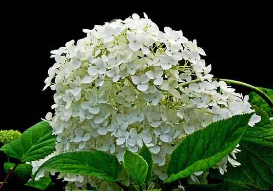 アジサイは夏に咲く花です