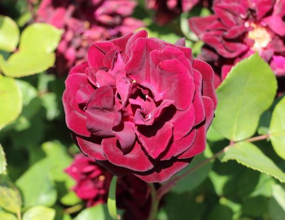 ルイ14世は濃い黒赤色のバラです