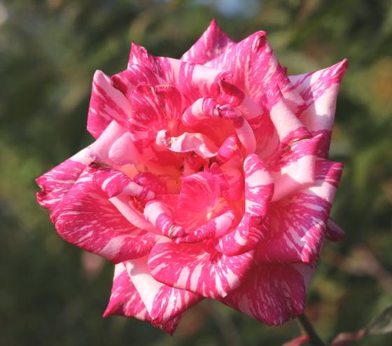 モダンタイムスは四季咲きです。