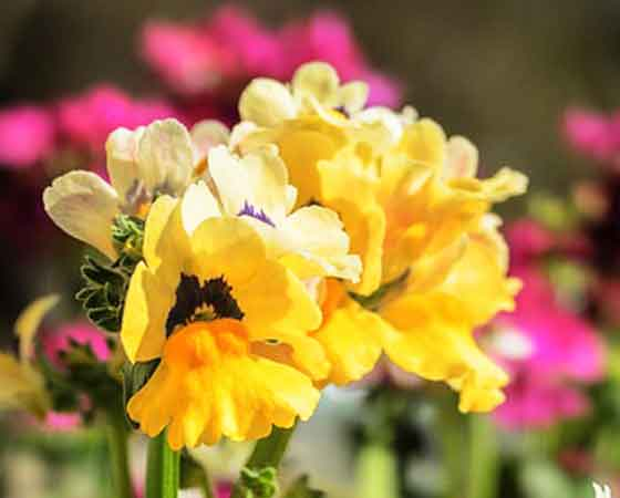 ネメシアは過湿と暑さに弱い花