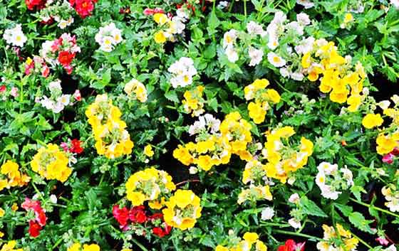 ネメシアは開花期間の長い花です