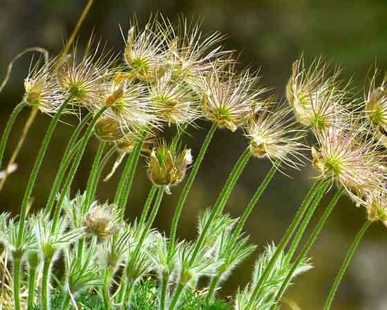 オキナグサは多年草です