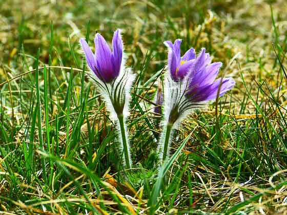 オキングサは濃紫色の花を咲かせる