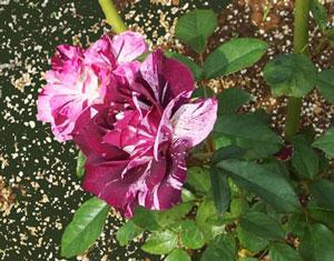 パープルタイガーは個性的な花色のバラ