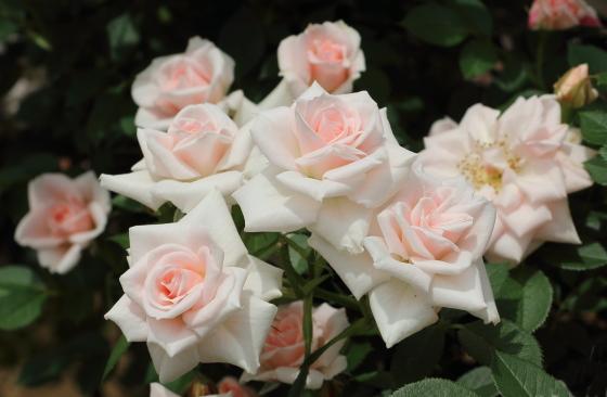 小夜曲は淡いピンク色のミニバラ