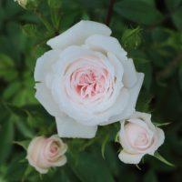 さざなみはロゼット咲きです