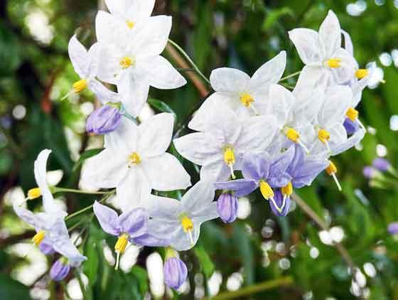 ツルハナナスはつる性植物