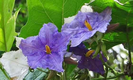 ツルハナナスは熱帯植物です