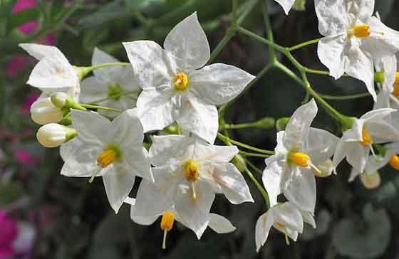 ツルハナナスは開花期が長い花です