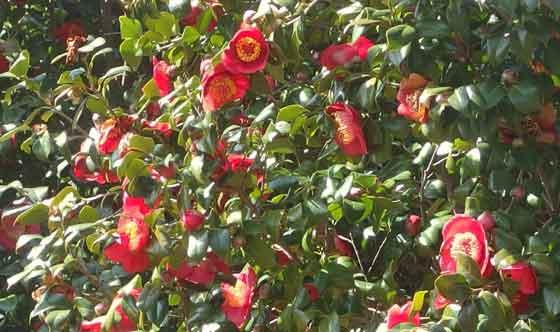 ツバキの咲く風景