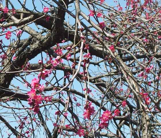 早春の梅が咲く風景
