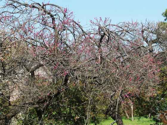 紅梅と白梅の咲く風景