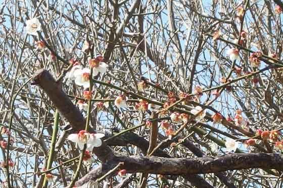 白梅の咲く風景