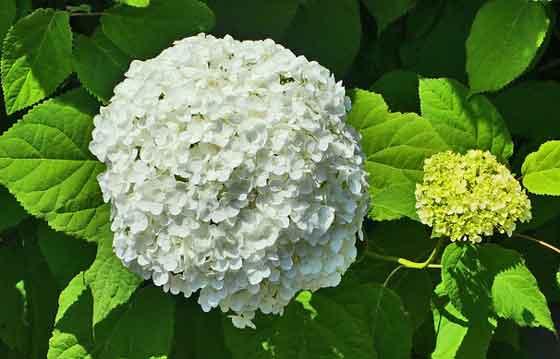 オオデマリは花木です