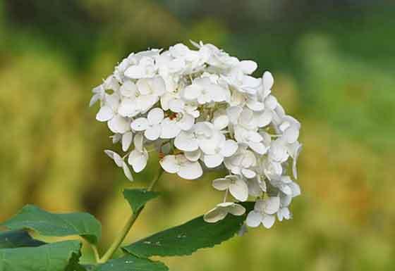 オオデマリは5~6月が開花期
