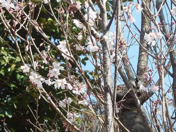 山桜が咲きました