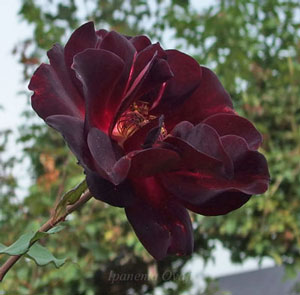 夜の調べは暗黒赤色のバラ
